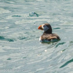 20110710-IMG 2253-Puffin, Inchkeith