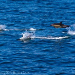 20110713-IMG 2390-Dolphins in Minch
