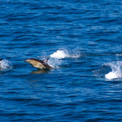 20110713-IMG 2391-Dolphins in Minch