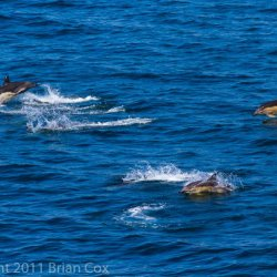 20110713-IMG 2414-Dolphins in Minch