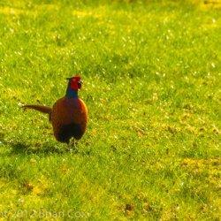 20120331-IMG 4330-Pheasant at Dawyck