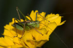 Speckled Bush Cricket.