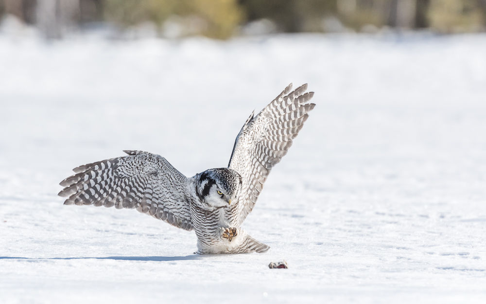 Northern Hawk Owl (3)