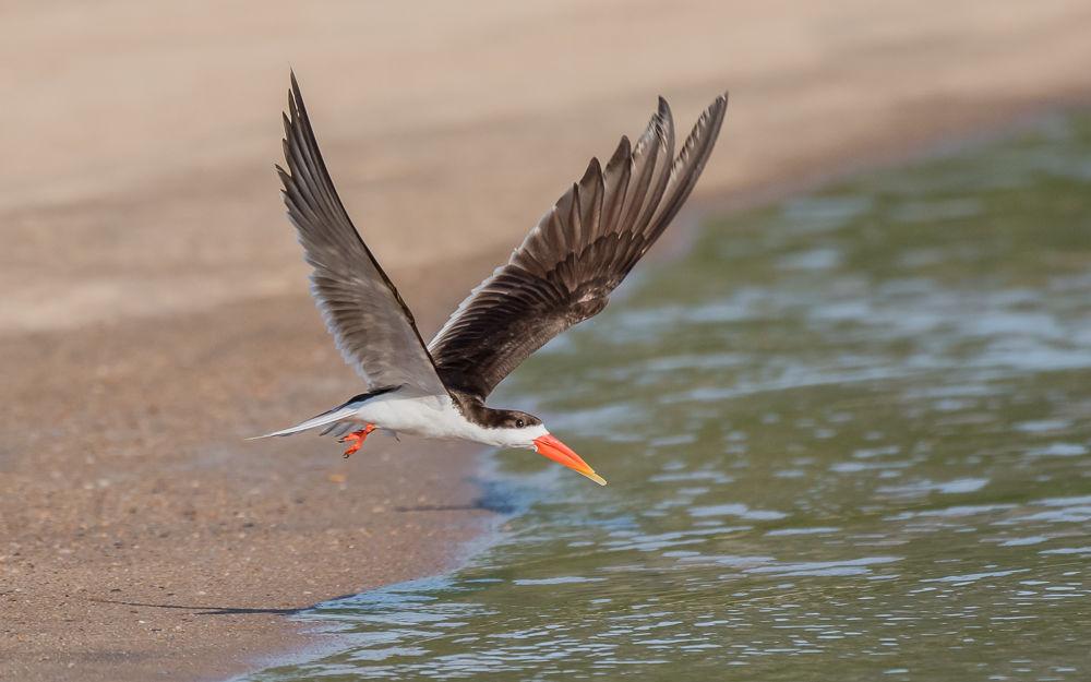 African Skimmer (9)