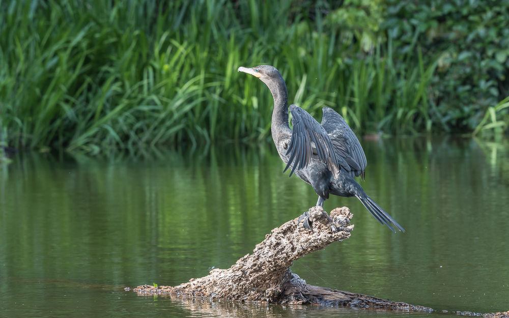 Neotropic Cormorant (4)