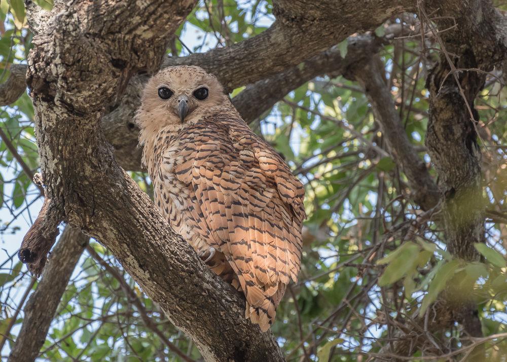 Pel's Fishing-Owl (1)