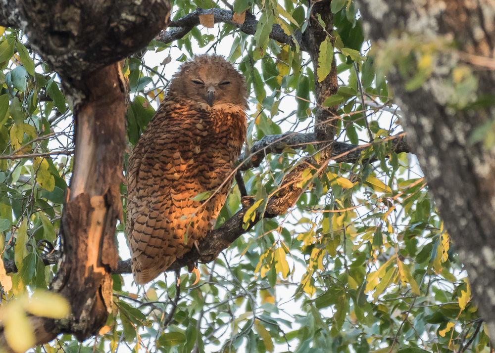 Pel's Fishing-Owl (2)
