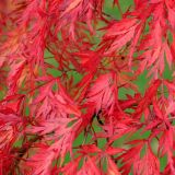Japanese maple in autumn colour