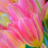 Pink and yellow-tulips