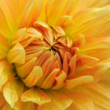 Yellow chrysanthemum detail