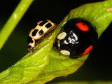 14-spot Ladybird with Harlequin Ladybird