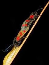 6-Spot Burnets