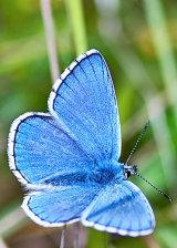 Adonis Blue (Polyommatus bellargus)