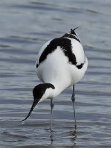 Avocet (with Oystercatcher)