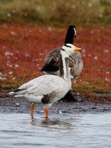Bar-headed Goose (Anser indicus)