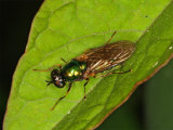 Broad Centurion Soldier Fly