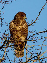Buzzard in Tree
