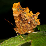 Comma (Polygonia c-album)
