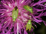 Common Green Capsids