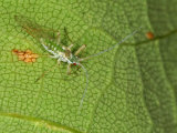 Common Sycamore Aphid