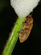 Galerucella lineola