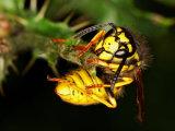 German Wasp