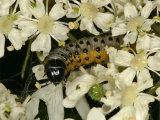 Gooseberry Sawfly
