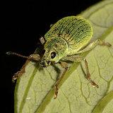 Green Nettle Weevil
