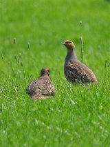 Grey Partridges (Perdix perdix)