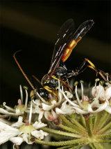 Haemorrhoicus crassigena
