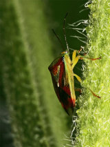 Hawthorn Shield-bug