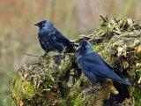 Jackdaws (Corvus monedula)