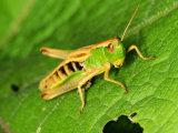 Meadow Grasshopper