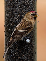 Common or Mealy Redpoll (Carduelis flammea)