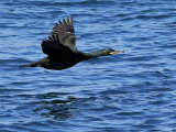 Shag (Phalacrocorax aristotelis)