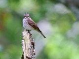 Spotted Flycatcher (Muscicapa striata)