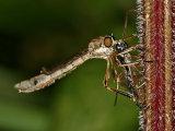 Striped Slender Robberfly