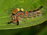 Vapourer or Rusty Tussock Moth caterpillar