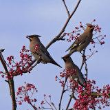Waxwings (Bombycilla garrulus)