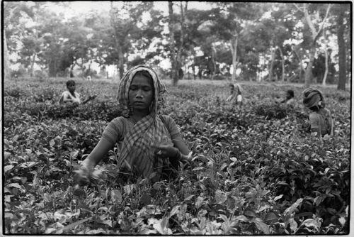 Tea picking Sylhet district
