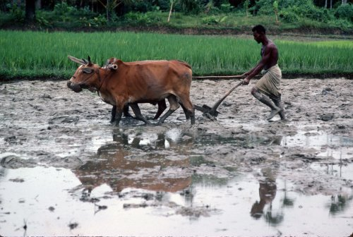 Ploughing paddy field