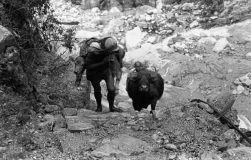 Carrying buffalo calf