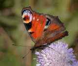 3rd Peacock Butterfly by Martin Ridout