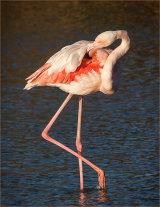 Hon.Men. Greater Flamingo preening at Sunrise by Martin Ridout LRPS