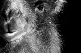 Bactrian Camel Eye black & White