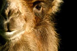 Bactrian Camel Eye
