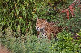 Jaguar in the bushes (landscape)