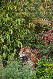 Jaguar in the bushes (portrait)