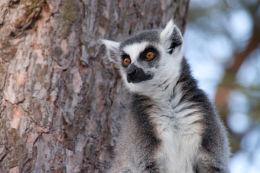 Lemur image 2