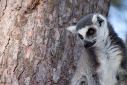 Lemur image 4